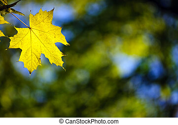 yellow maple fall leaf - One yellow maple fall leaf. Copy...