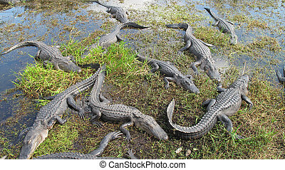 Nest of Alligators - A nest of Alligators in the Everglades