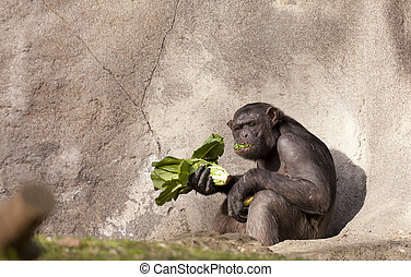 Chimpanzee - Pair of chimps with food in hand