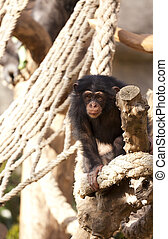 Chimpanzee - Breeding high in chimps playing a rope