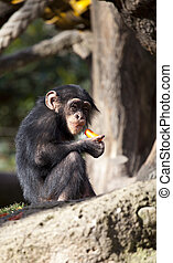 Chimpanzee - Small nice baby chimp eating vegetables in the...