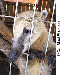 nice coati in zoo - the image of nice coati in zoo