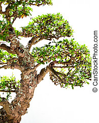 Large Bonsai - A large bonsai tree next to a white backrop...