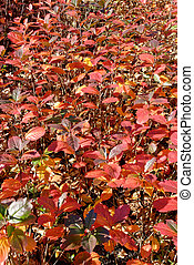 Leaves in Late Autumn - A bush, covered with red autumn...
