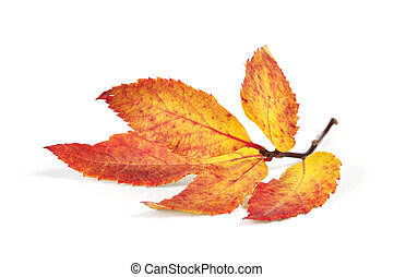 autumn colorful leaf isolated on white background closeup