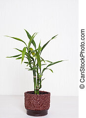 Bamboo plant - Bamboo plant in a pot on the white background...