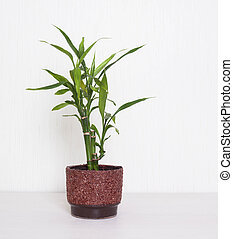 Bamboo plant. - Bamboo plant in a pot on the white...