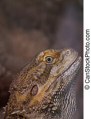 Bearded dragons - Close-up of Bearded dragons eye Pogona...