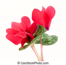 Red flower - Cyclamen flower isolated on white background