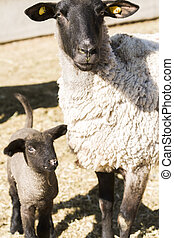 Lamb and ewe - Suffolk sheep with lamb on a local farm in...