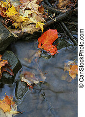 Red Maple Leaf in a Stream - A closeup of a red maple leaf...