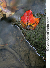 Bright Red Leaf Near a Stream - A closeup of a red maple...