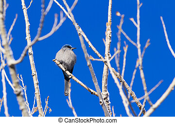 Mountain Bluebird in the Winter