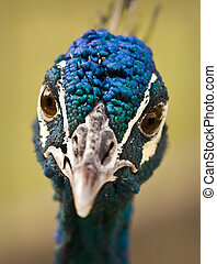 Blue Peafowl - One of the most beautiful birds at the local...