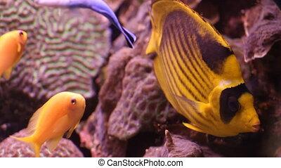 Emperor fish in the aquarium