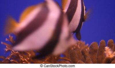 Moorish Idol Fish in the aquarium