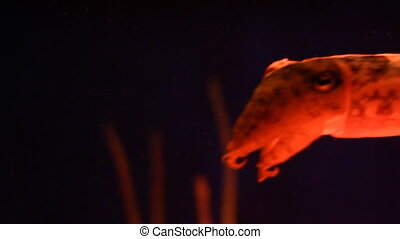 Cuttlefish swimming at night