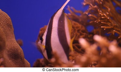 Moorish Idol Fish in the aquarium
