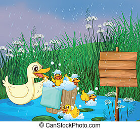 A mother duck with her ducklings playing under the rain -...