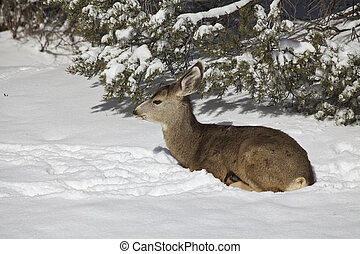 Mule Deer Doe in Snow