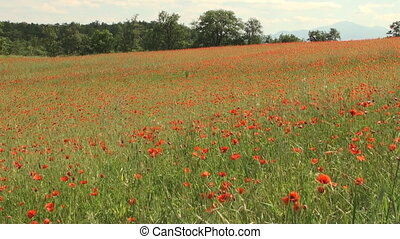 Field of swaying poppy flowers