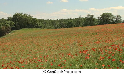 Field of swaying poppy flowers