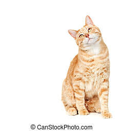 Cat portrait. - Ginger Cat isolated over white background....