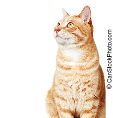 Cat portrait - Ginger Cat isolated over white background...