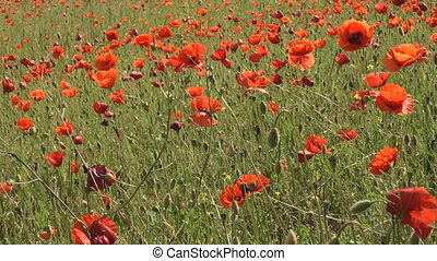 Bunch of poppy flowers swaying in t