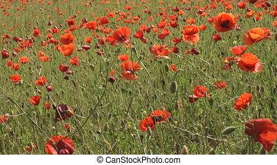 Bunch of poppy flowers swaying in t