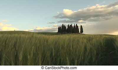 Group of cypress trees at sunset - Group of cypresses as the...