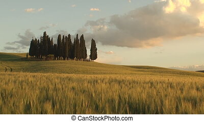 Pan of a group of cypress trees at