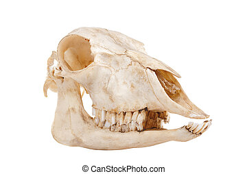 skull of domestic horse - ?utout skull of domestic horse on...