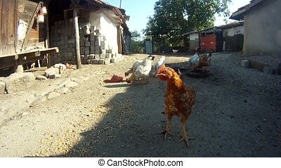 Chickens in courtyard - Chickens in countryside courtyard