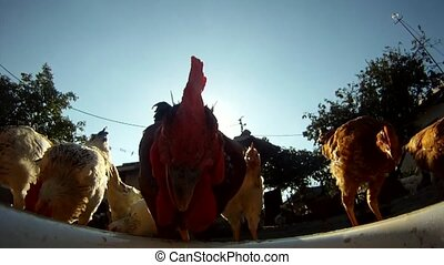Close-up of rooster and chickens