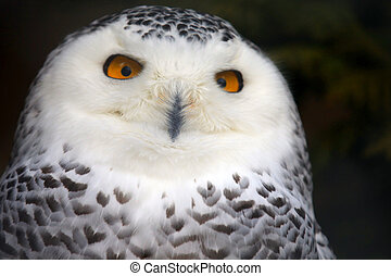 Snowy Owl - close up of snowy owl with bright orange eyes