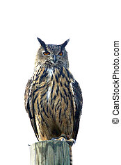 Owl - an owl on isolated background