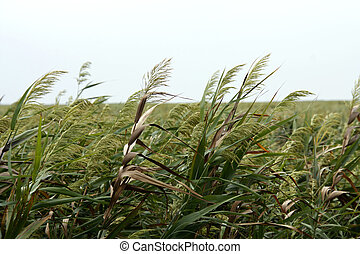 Sea Oats on the coast of China within the Chongming Island...