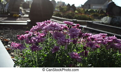 chrysanthemum cemetery - chrysanthemums autumn flowers move...