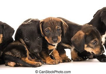 Dachshund puppies embracin - Dachshund puppies isolated on...