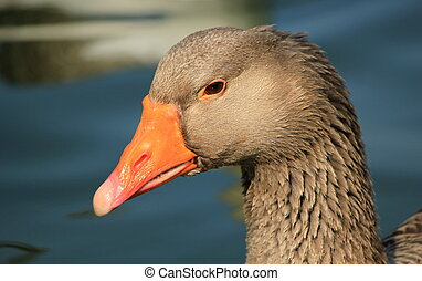 Wild goose portrait - Close up of a wild goose head and...