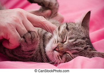 Scottish-straight gray cat - Human hand pets a...