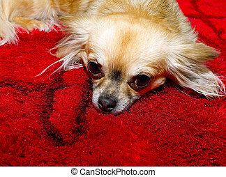 Long haired chihuahua. - Chihuahua lying on red carpet and...