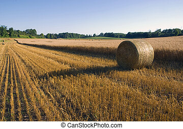 Grain Harvest - Rows of cut grain and bales next to the...