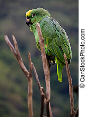 green costa rica parrot - a green costa rican parrot sitting...
