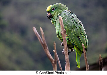 green costa rica parrot wide - a green costa rican parrot...