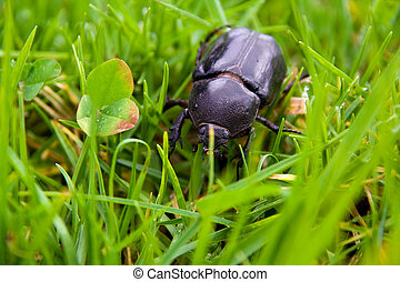 big beetle - black beetle running through the wet grass