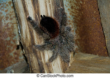 hairy spider - a hairy tarantula on wood in a jungle hut