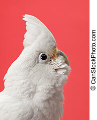 head shot of a white parrot - Head shot of a young white...
