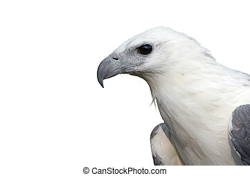 white bellied sea eagle isolated on white background